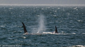 A42 orca family