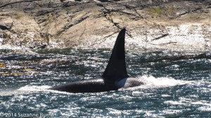 Surf the orca