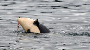 Baby orca with salmon