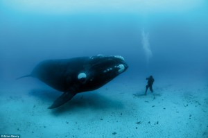 Bowhead facing diver. Photo credit: Brian Skerry