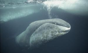 Bowhead Whale. Photo credit: Martha Holmes/naturepl.com