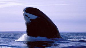 Bowhead whale spyhopping. Photo credit: Getty images