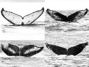 Department of Fisheries (DFO) Canada photographic guide to differences in humpback whale flukes