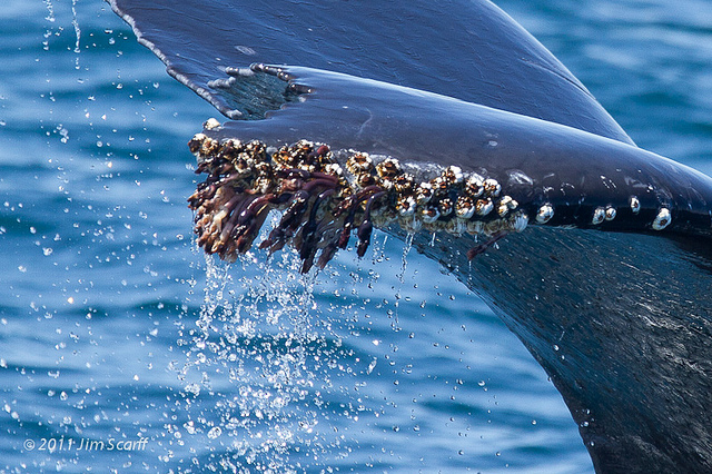 Barnacles On Whales Hurt | www.pixshark.com - Images ...