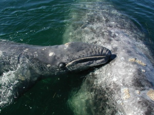 Baby gray whale nuzzling into its mother. Photo credit: www.learner.org