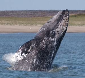 Breaching gray whale. Photo credit: Dave Weller