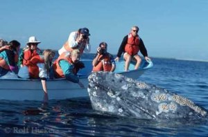 "The ""friendlies"" as they call the gray whales as they seek out contact with boats and people frequently in Baja. Photo credit: Rolf Hickey"
