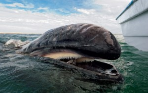 Surfacing gray whale showing its baleen plates. Photo credit: Christopher Swann
