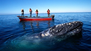 Gray whale near little boat. Photo credit: Kerrick James/Corbis