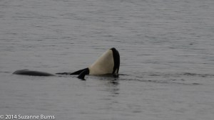 Baby orca goofing around with its mother