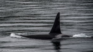 Male orca with distinctie  saddle patch showing