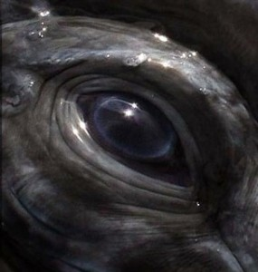 SR whale eye