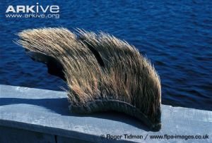 Baleen plate pictured here with baleen bristles attached. Photo credit: Roger Tidman/www.flpa-images.co.uk. Arkive.